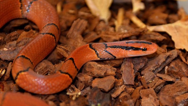 Nejkrásnější novinky z chovů hadů