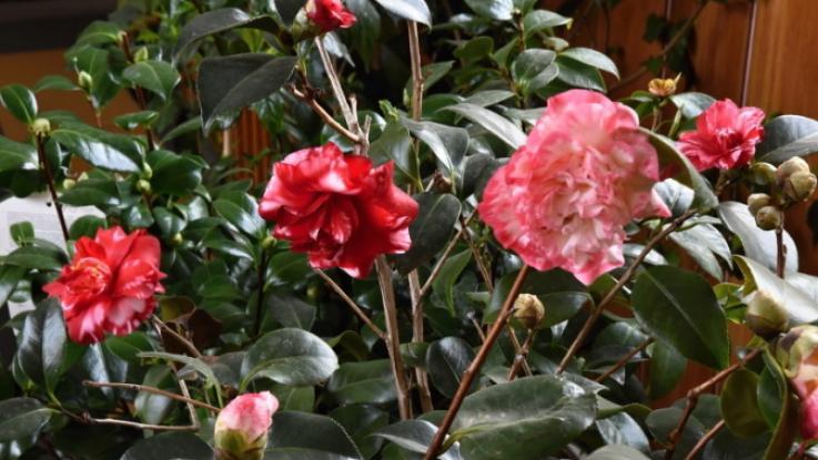 Kamélie - jedna z královen květin