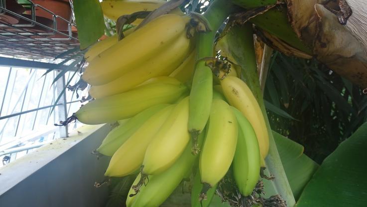 Za banány do tropického skleníku naší školy