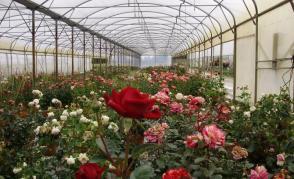 Školka na pěstování růží Rosiériste Pilté