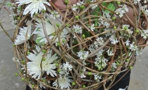 Květinový den na Sázavském klášteře